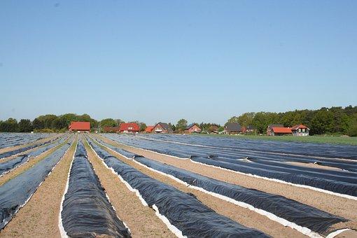 Asparagus Field, Cover, Heat Build Up, Asparagus