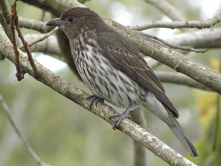 Australasian Figbird Female, Wildlife, Birds, Feathers