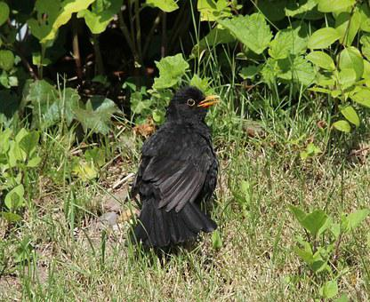Blackbird, Turdus Merula, True, Bird, Throttle, Black