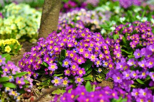 Oxlip, Flower, Primula, Blossom, Spring, Bloom