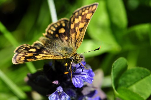 Butterfly, Butterflies, Insect, Flower, Blue, Drink