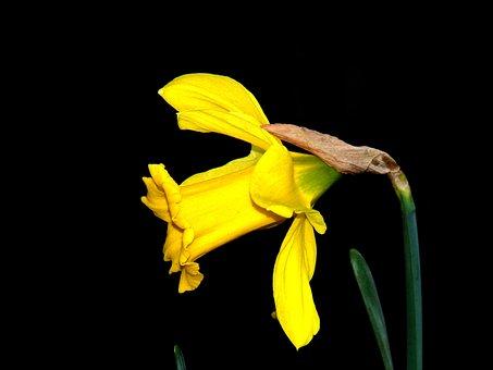 Daffodils, Bloom, Flower, Garden, Spring, Daffodil