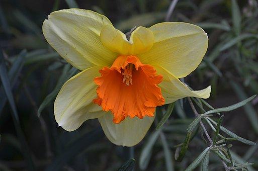Daffodil, Flower, Yellow, Nature, Spring, Petal, Garden