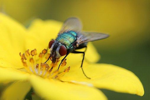 Fly, Insect, Brachycera, Diptera, Animal, Animals