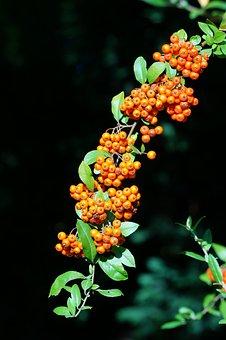 Firethorn, Pyracantha, Orange, Green, Black, Fruits