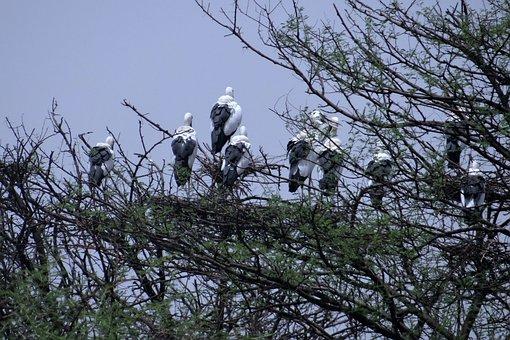 Openbill Stork, Asian Openbill, Heronry, Nesting