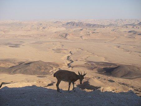 Desert, Neguev, Israel, Sand, Hot, Mitzpe Ramon, Animal