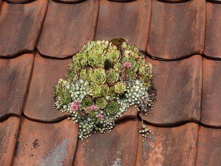 Moss, Roof, Plant, Flower, Bloom, Flowers, Plants