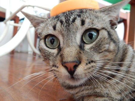 Cat, Pet, Surprised