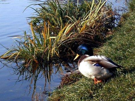 Duck, Libocký Pond, Prague, Pond