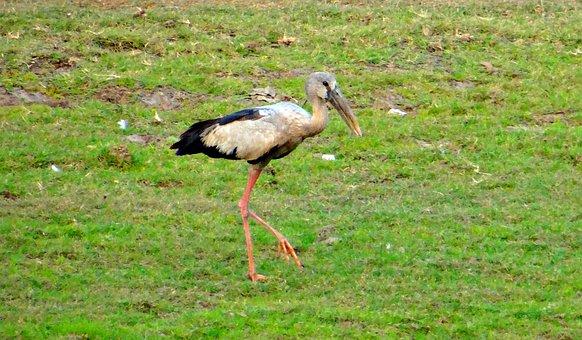 Asian Open Bill Stork, Openbill, Stork, Bird, Wader