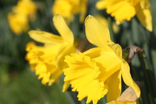 Daffodil, Flower, Easter, Yellow Underside Petals