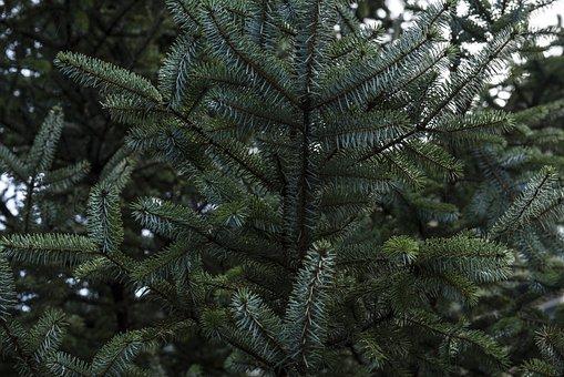 Blur, Branch, Close-up, Color, Conifer, Coniferous