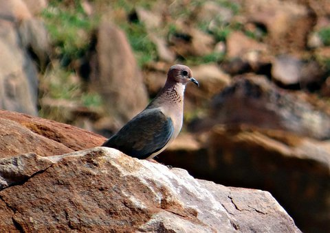 Dove, Bird, Laughing Dove, Little Brown Dove