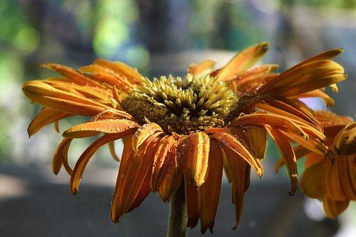 Daisy, Flowers, Nature, Gerbera, Bloom, Blossom, Summer