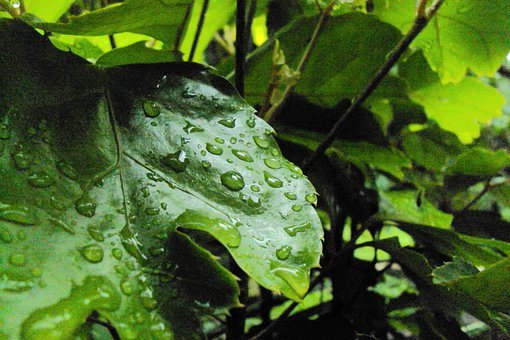 Water Drops, Leaves, Nature, Vine, Muscadine, Green