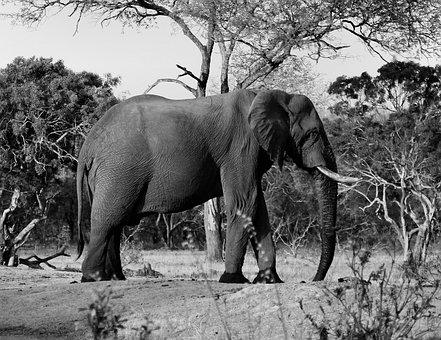 Animal, Elephant, Safari, Savanna, Tusk, Wildlife