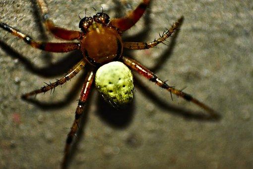 Pumpkin Spider, Spider, Close, Macro, Arachnid, Insect