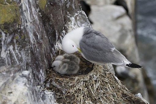 Seagull, Gull, Bird, Animal, Nest, Chicks