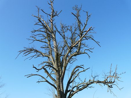 Tree, Dying Tree, Age, Arid, Aesthetic, Die Off, Sky