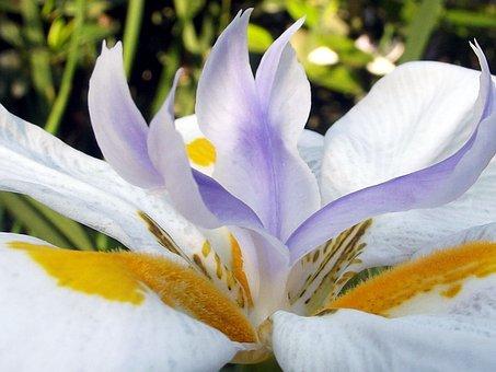 Fairy Iris, Flower, Flowers, Garden, Hartbeespoort Dam