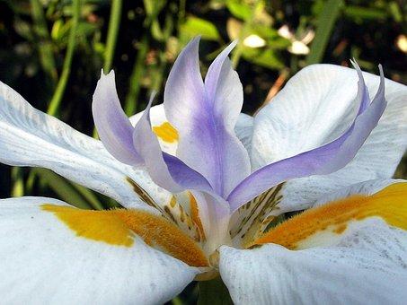 Fairy Iris, Garden, Flower, Plant, Hartbeespoort Dam