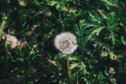Bloom, Blossom, Dandelion, Field, Flora, Flower, Grass