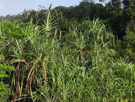 Kewda, Fragrant Screw Pine, Umbrella Tree, Ketaki, Kia