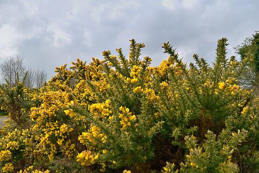 Gorse Bush, Gorse, Yellow Bush, Ireland