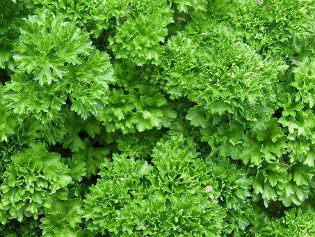 Parsley, Herbs, Plant, Green, Park, Art, Fresh, Bio