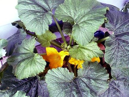 Squash, Garden, Vegetable, Food, Gardening, Organic