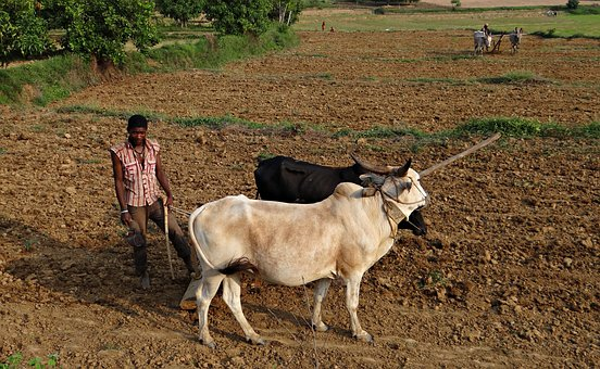 Siddi Farmer, Siddi, Siddhi, Tribe, Ethnic Group