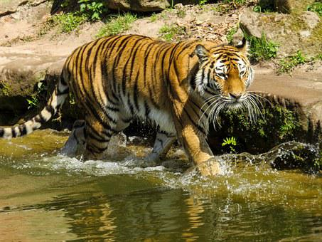 Tiger, Predator, Big Cat, Zoo, Dangerous, Water