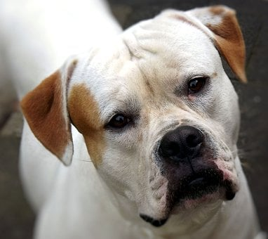 American Bulldog, Dog, A Friend, Pet, Wedding
