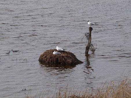 Gulls, Bird's Nest, Moevennest, Wetlands, Water, Bird