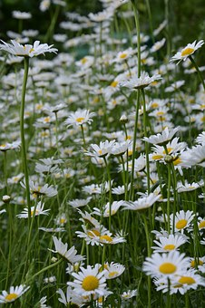 Marguerite, Flower Meadow, White, Flowers, Plant