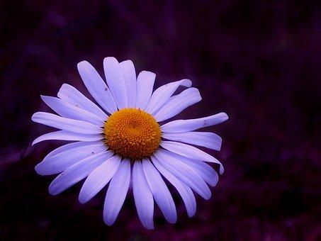 Marguerite, Blossom, Bloom, White, Plant, Summer