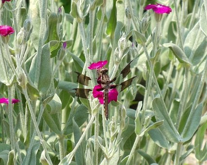 Dragonfly, Insect, Bug, Wing, Fly, Summer, Wild, Garden