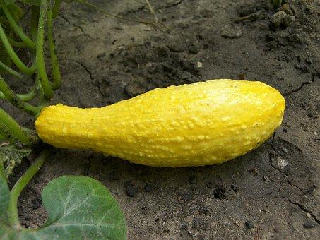 Squash, Food, Vegetable, Crookneck, Yellow, Garden