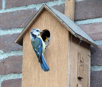 Bird, Pimpelmeesje, Birdhouse