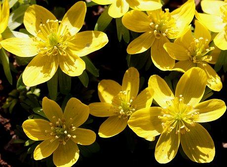 Flowers, Blueen, Winter Linge, Yellow, Bright, Spring
