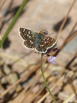 Butterfly, Grizzled Armoricanus, Ruderal Merlet