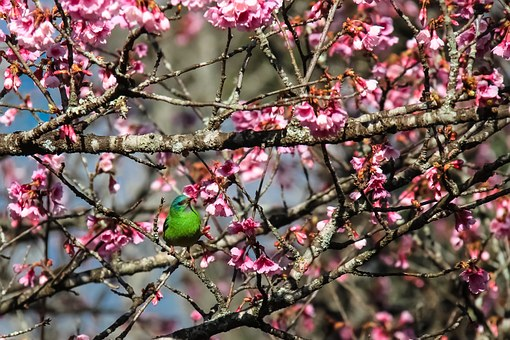 Environment, Flowers, Nature, Trees, Flower, Cherry