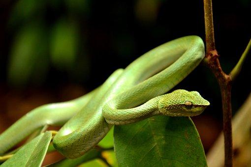 Snake, Viper, Coiled, Nature, Animal, Borneo, Bako