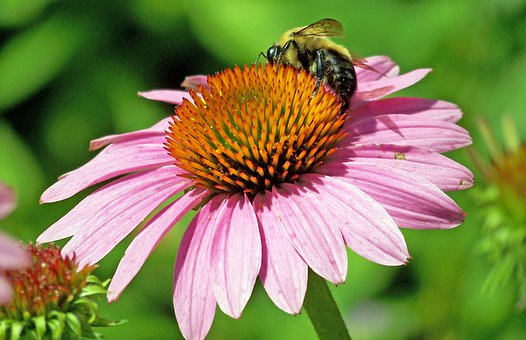 Echinacea, Echinacea Paradoxa, Bloom, Blossom, Colorful
