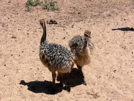 Ostrich, Chick, Neck, Bird, Africa, Feathers, Baby