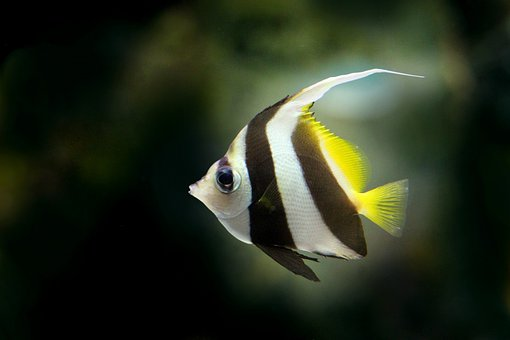 Angelfish, Fish, Freshwater Fish, Pretty Fish