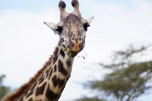 Giraffe, Eating Giraffe, Neck, Head, Munching Giraffe