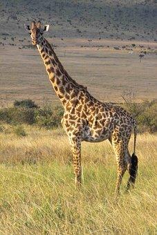 Giraffe, Wilderness, Safari, Wild Animal, National Park