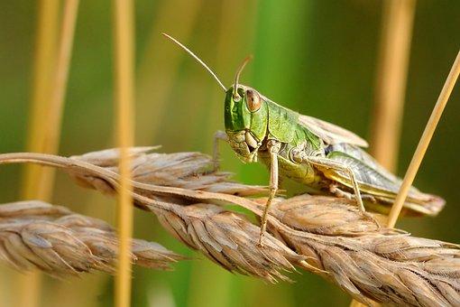Desert Locust, Insect, Macro, Nature